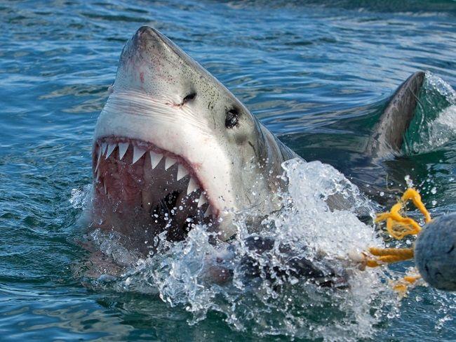 Cá mập trắng – Jaws